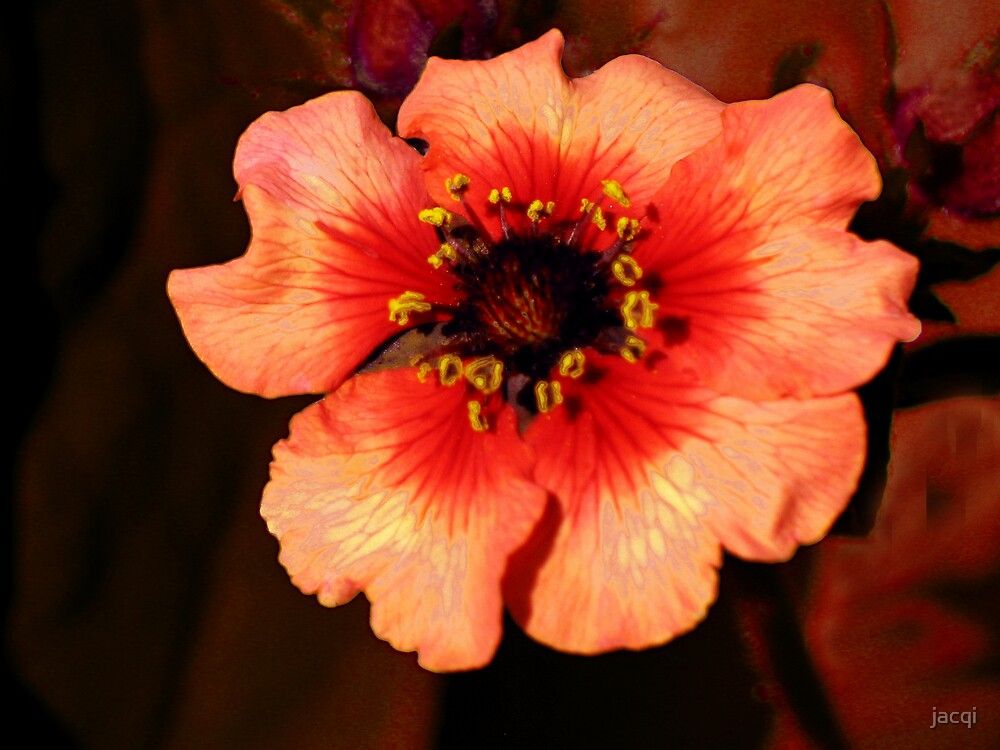 Orange Potentilla by jacqi