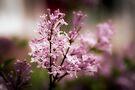 Lilacs - Orton-ized by PhotosByHealy