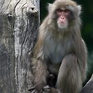 snow monkey (japanese macaque) by jude walton