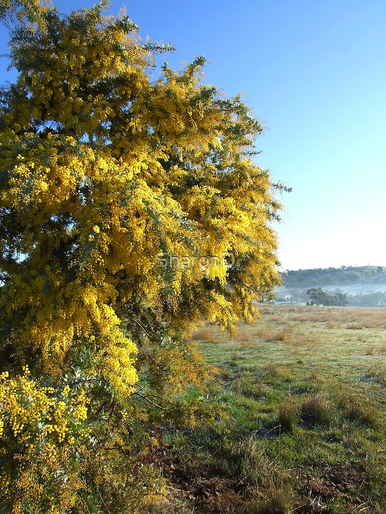Cootamundra Wattle by SharonD