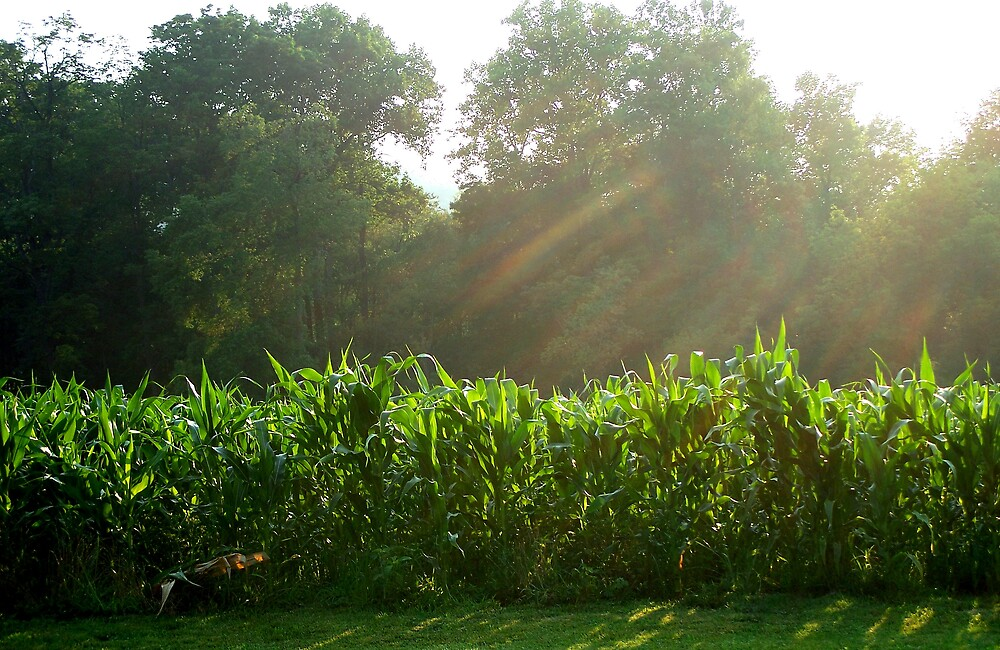 Sunlight to grow the corn by Judi Taylor