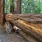 Trunk of a Redwood Tree by Yair Karelic