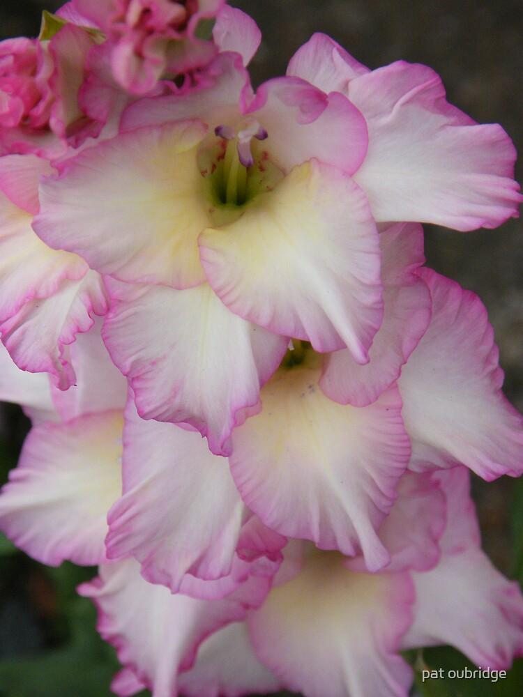 Gladiolus- Priscilla by pat oubridge