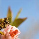 Orchard Bee Macro by Jeremy Harrington