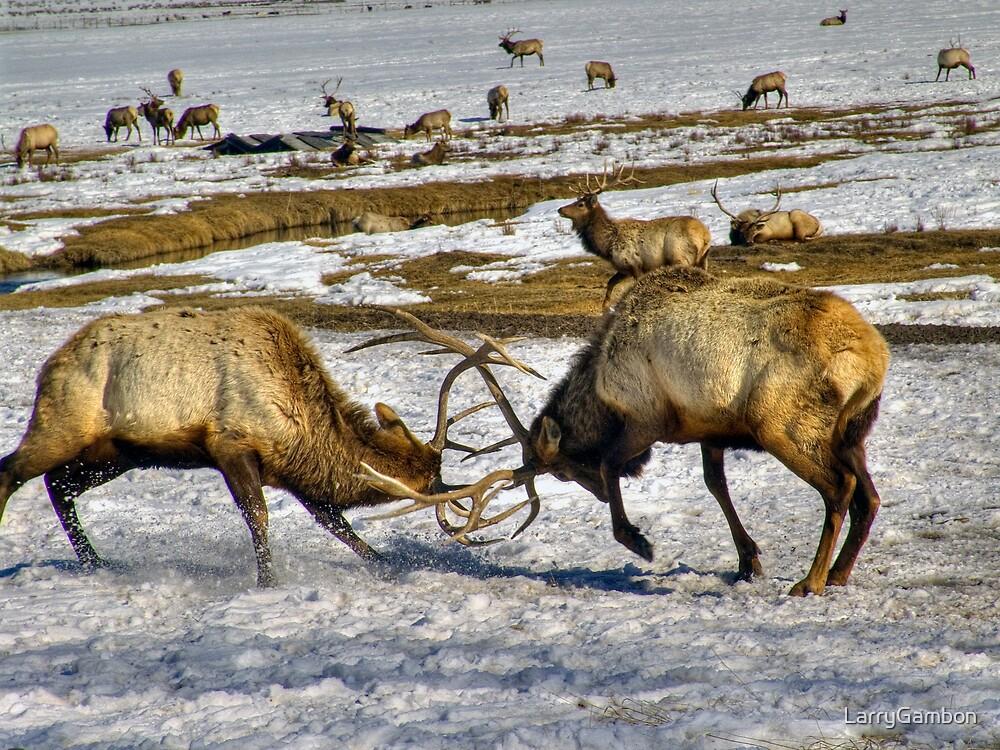 Elk Fight by LarryGambon