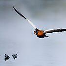 Australian shelduck and ducklings by nadine henley