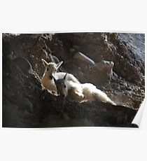 Kid Mountain Goats Resting Poster