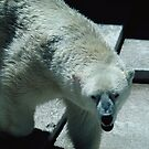 Angry Polar Bear,117 views, 4 comments by dragonsnare