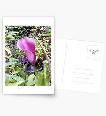 Zantedeschia Postcards