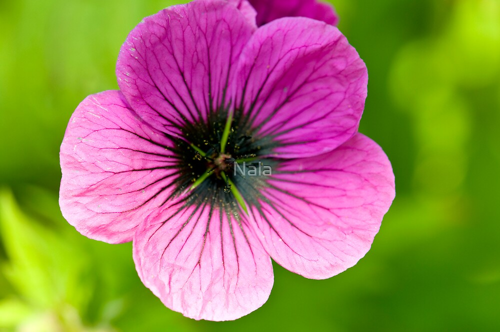 Pink Flower by Nala