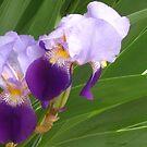 Iris duet by Newstyle