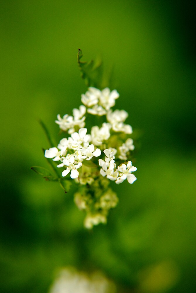 White Flowers by PPDesigns