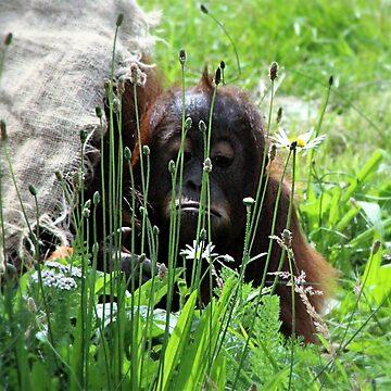 Sumatran Urangatan by Ladymoose