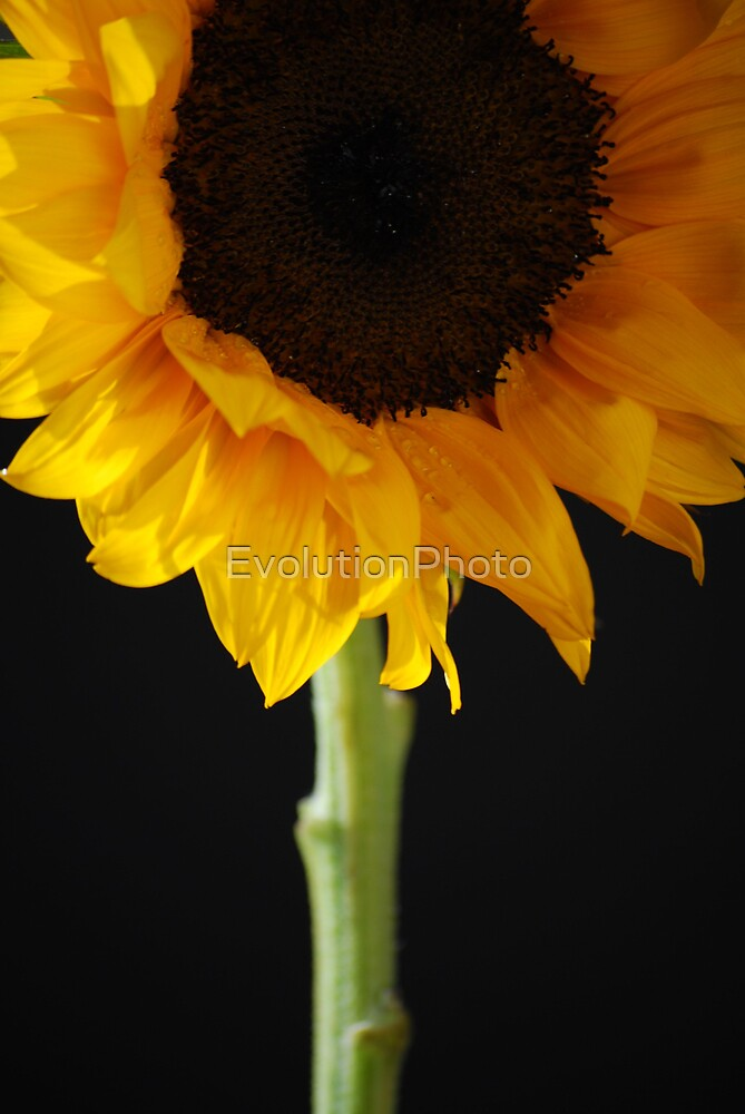 Sunflower by EvolutionPhoto