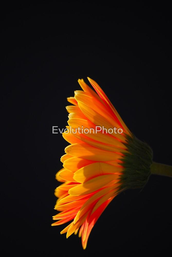 Gerbera Daisy by EvolutionPhoto