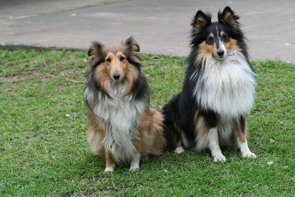 Lassie and Storm by picketty
