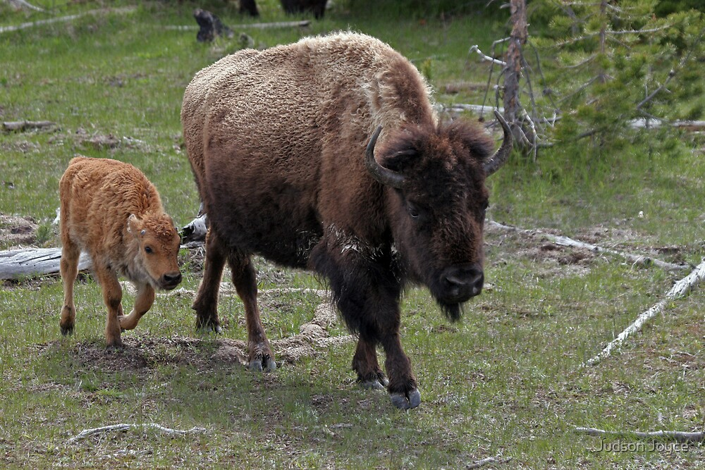 Buffalo and Infant by Judson Joyce