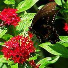 Swallowtail by David Cortez