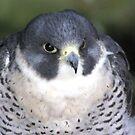 Peregrine (Falco Peregrinus) by Trevor Kersley