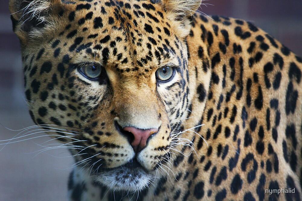 Jaguar warning by nymphalid