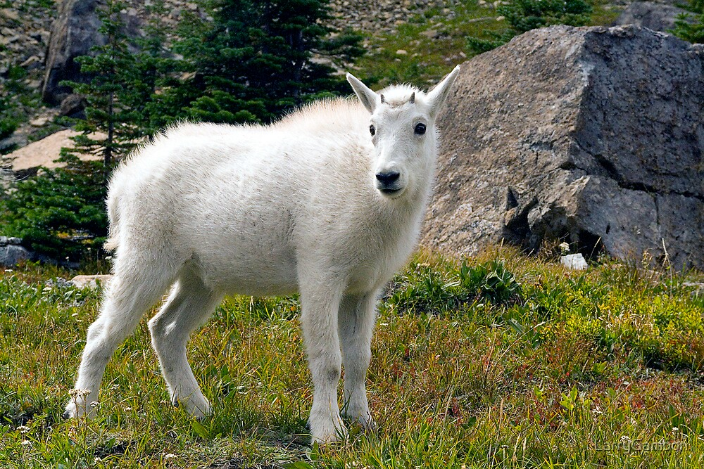 Mountain Goat Kid by LarryGambon