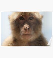 Barbary Apes (Macaca Silvanus) Poster