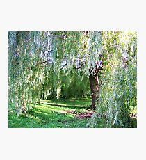 Willow Sanctuary Photographic Print