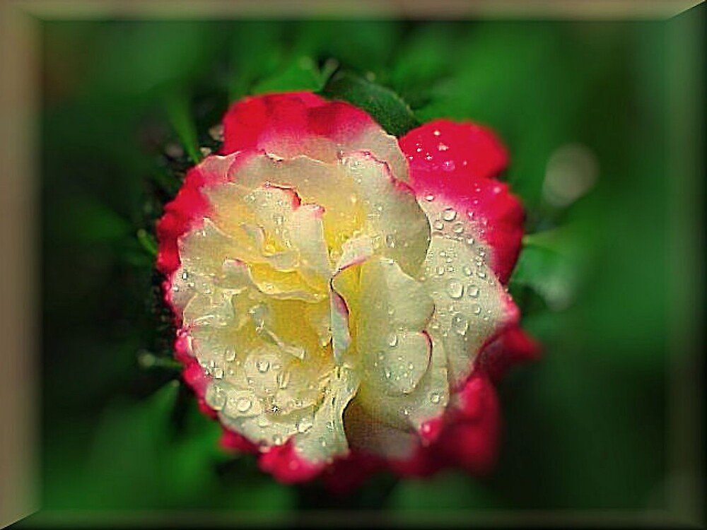 A Rose by TerryDavey