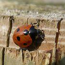 Ladybird ladybird by Maureen Brittain