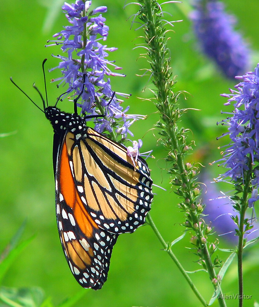 To everything there is a season....Monarch by AlienVisitor