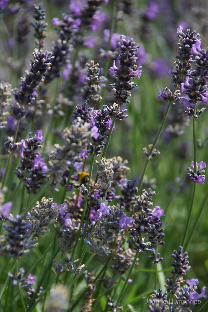 Field of lavender by Justine Humphries