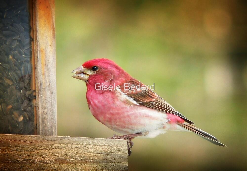 Purple Finch by Gisele Bedard