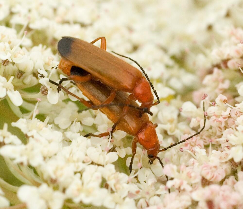 Soldier Beetles by Ron Hindhaugh