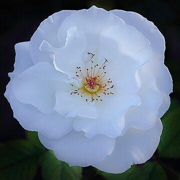 White Rose by camisetaencasa