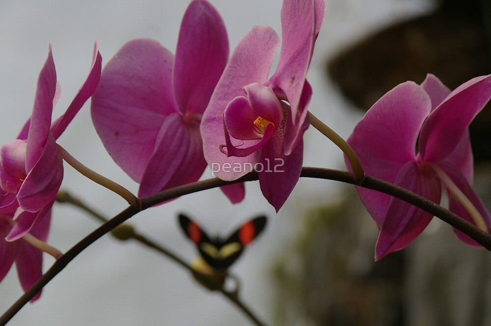 Butterfly/orchids by peano12