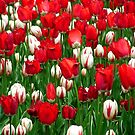 Sea of Tulips by Lolabud