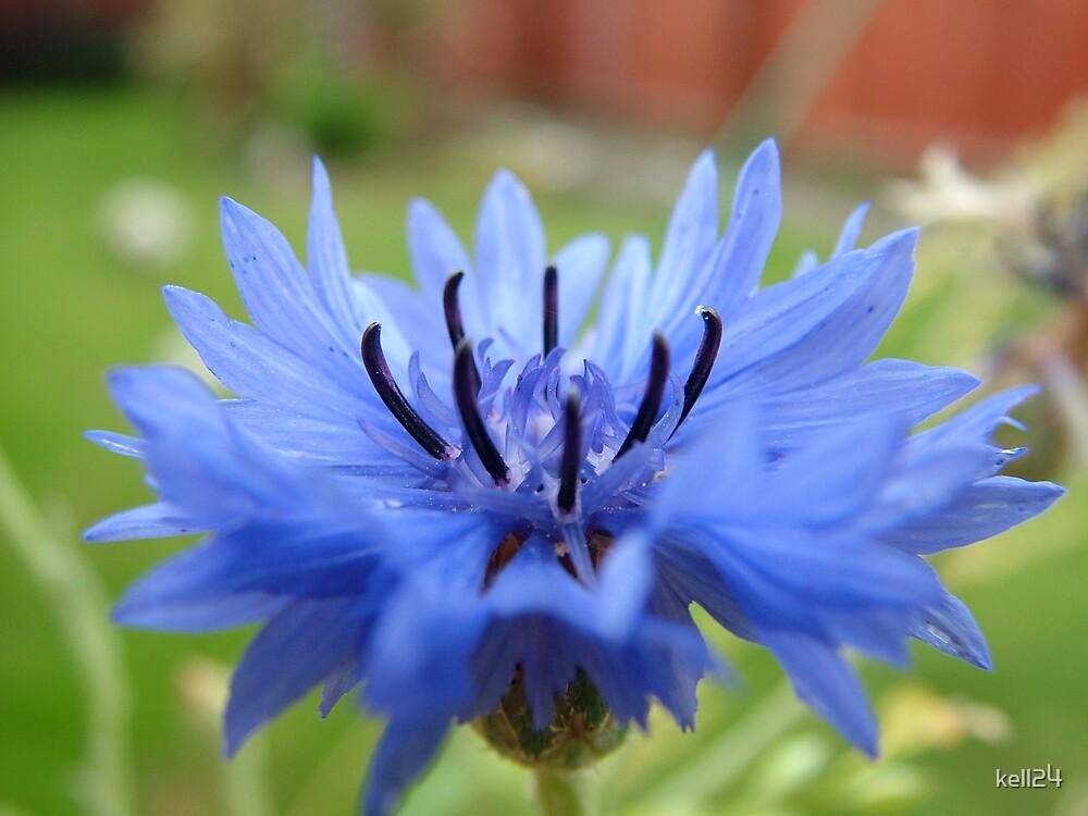 Blue bloom by kell24