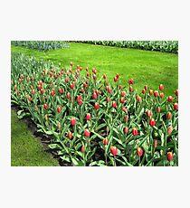 Triumphant Tulips - Keukenhof Gardens Photographic Print