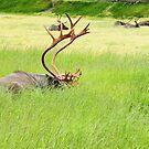Caribou by Gary L   Suddath