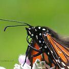Monarch* @ by ChereeCheree
