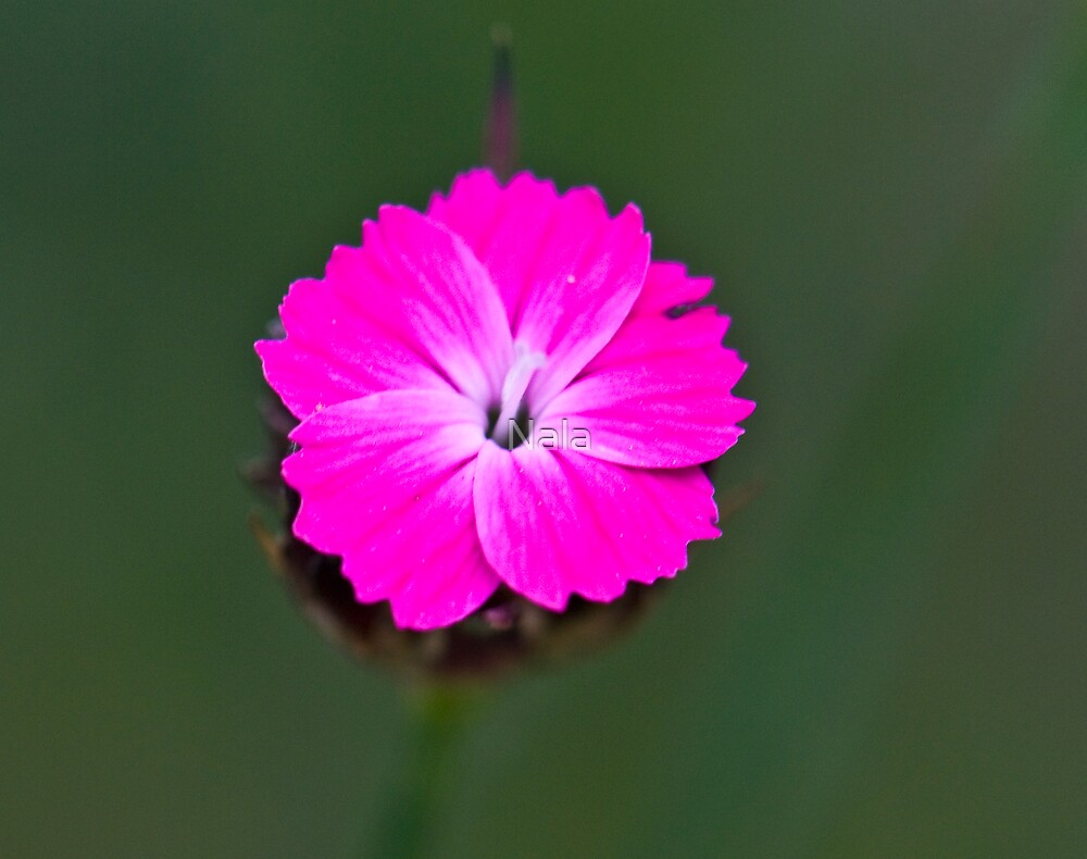 Small flower by Nala
