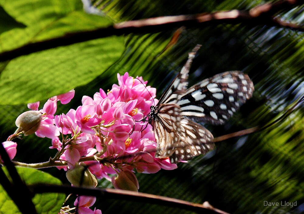 Butterfly by Dave Lloyd