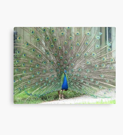 Strutting his Stuff...Toronto Zoo Metal Print