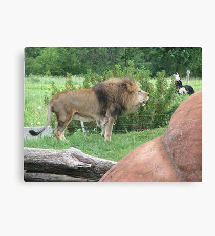 King of Captivity...Toronto Zoo Canvas Print