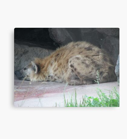 Spotted Hyena In Captivity ... Toronto Zoo Metal Print