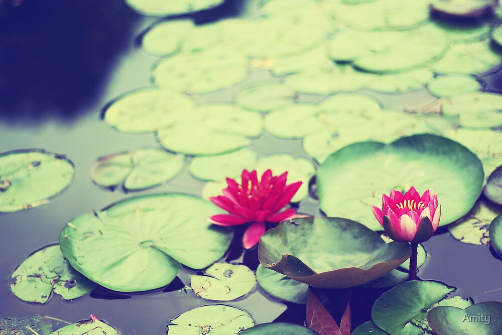 Water Lillies by Amity
