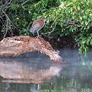 Rufescent Tiger Heron by Iris MacKenzie