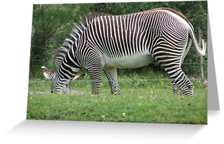 Zebra....Toronto Zoo by gypsykatz