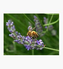 bees love lavender I Photographic Print