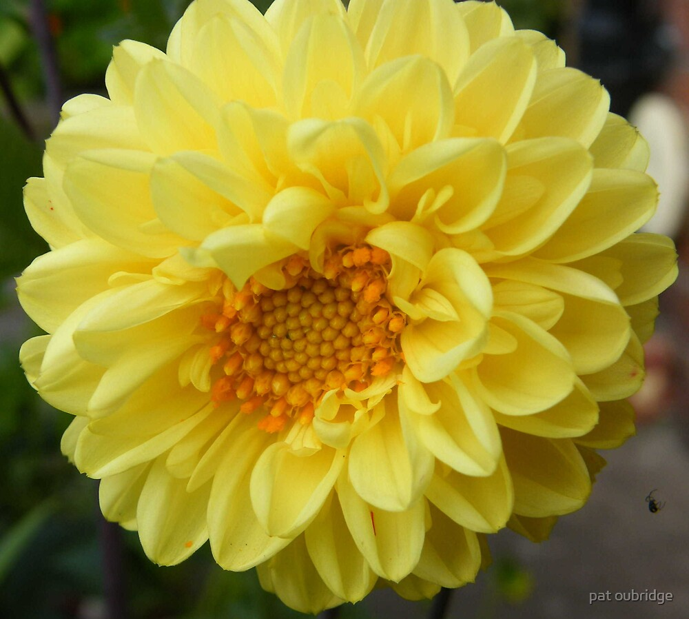 Dahlia and Tenant by pat oubridge